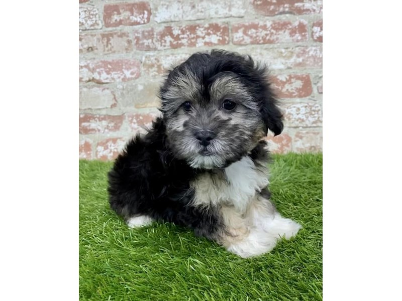ShizaPoo-DOG-Female-Black / Tan-2970951-Furrylicious