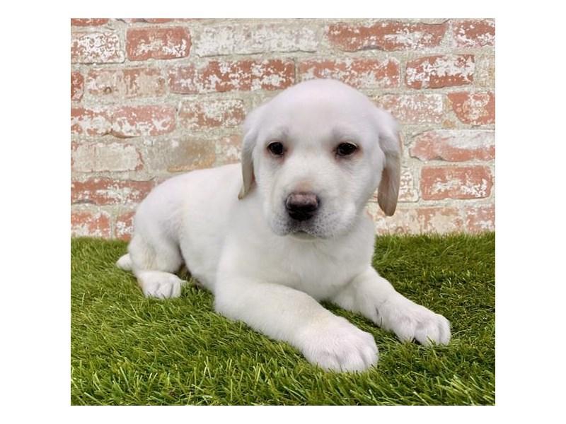 Labrador Retriever-DOG-Male-Yellow-2971672-Furrylicious
