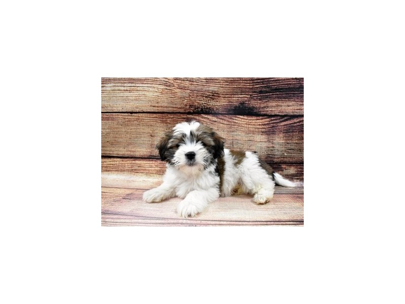 Shorkie-Female-Gold and White-2980648-Furrylicious