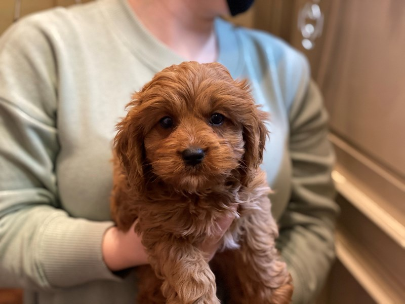 Cavapoo-DOG-Female-Red-2981670-Furrylicious