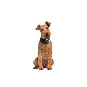Furrylicious Airedale Terrier