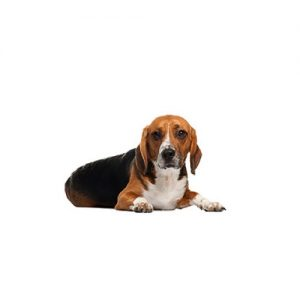 Furrylicious American Foxhound