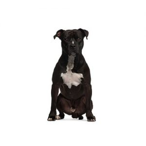 Furrylicious American Staffordshire Terrier