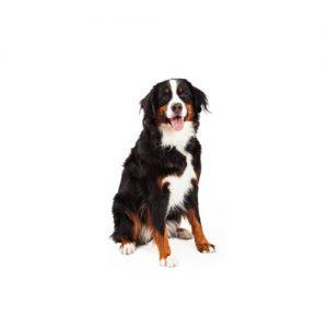 Furrylicious Bernese Mountain Dog