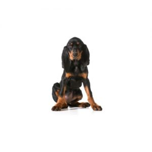 Furrylicious Black and Tan Coonhound