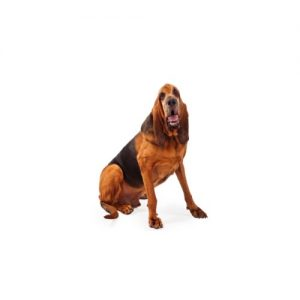 Furrylicious Bloodhound