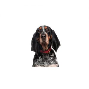 Furrylicious Bluetick Coonhound