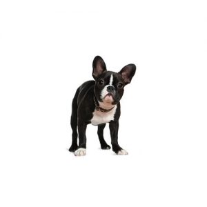 Furrylicious Boston Terrier