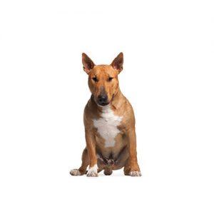 Furrylicious Bull Terrier