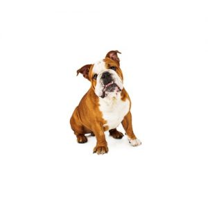 Furrylicious English Bulldog