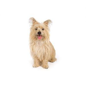 Furrylicious Cairn Terrier