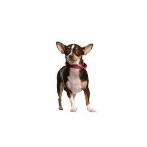 Furrylicious Chihuahua