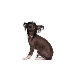 Furrylicious Chinese Crested