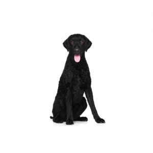 Furrylicious Curly-Coated Retriever