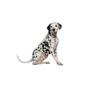Furrylicious Dalmatian
