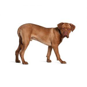 Furrylicious Dogue de Bordeaux