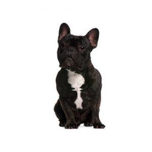 Furrylicious French Bulldog