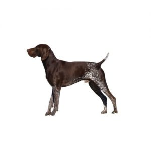 Furrylicious German Shorthaired Pointer