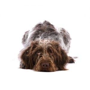Furrylicious German Wirehaired Pointer