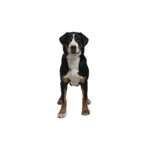 Furrylicious Great Swiss Mountain Dog