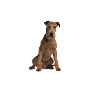 Furrylicious Irish Terrier