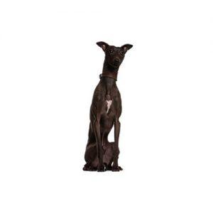 Furrylicious Italian Greyhound