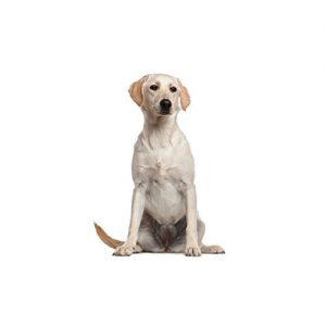 Furrylicious Labrador Retriever