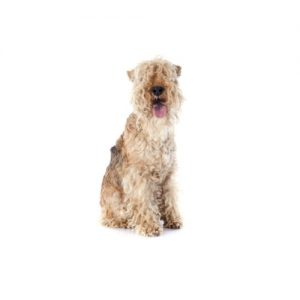 Furrylicious Lakeland Terrier