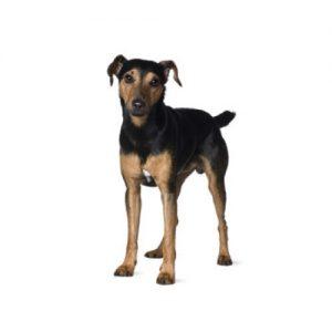 Furrylicious Manchester Terrier