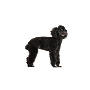 Furrylicious Miniature Poodle