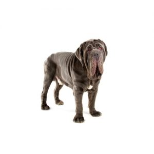 Furrylicious Neapolitan Mastiff