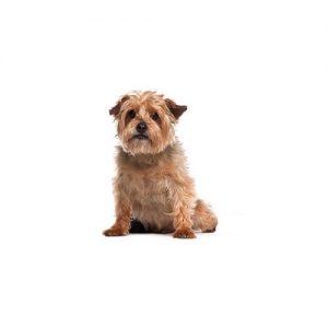 Furrylicious Norfolk Terrier