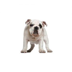 Furrylicious Olde English Bulldogge