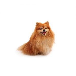 Furrylicious Pomeranian