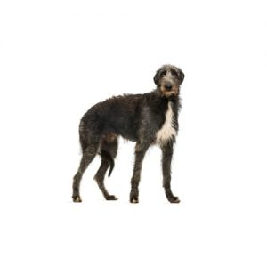 Furrylicious Scottish Deerhound