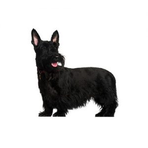 Furrylicious Scottish Terrier