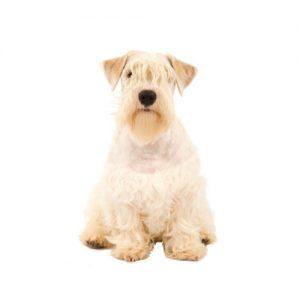 Furrylicious Sealyham Terrier