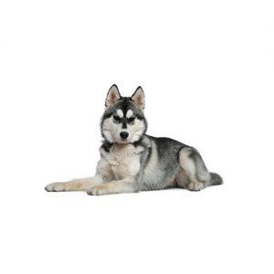 Furrylicious Siberian Husky