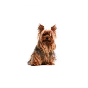 Furrylicious Silky Terrier