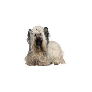 Furrylicious Skye Terrier
