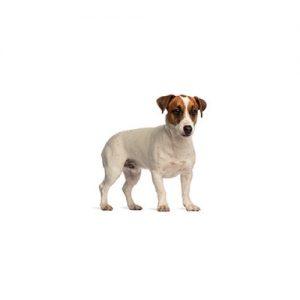 Furrylicious Smooth Fox Terrier