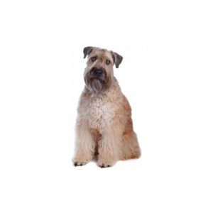 Furrylicious Soft Coated Wheaten Terrier