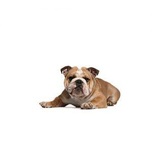 Furrylicious Victorian Bulldog