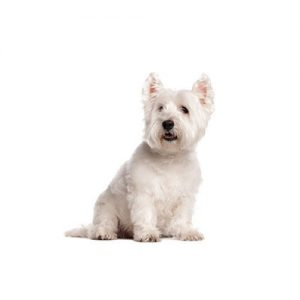 Furrylicious West Highland Terrier