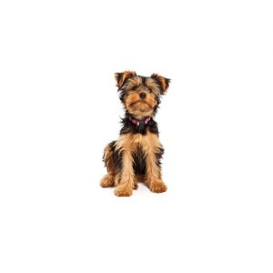 Furrylicious Yorkshire Terrier