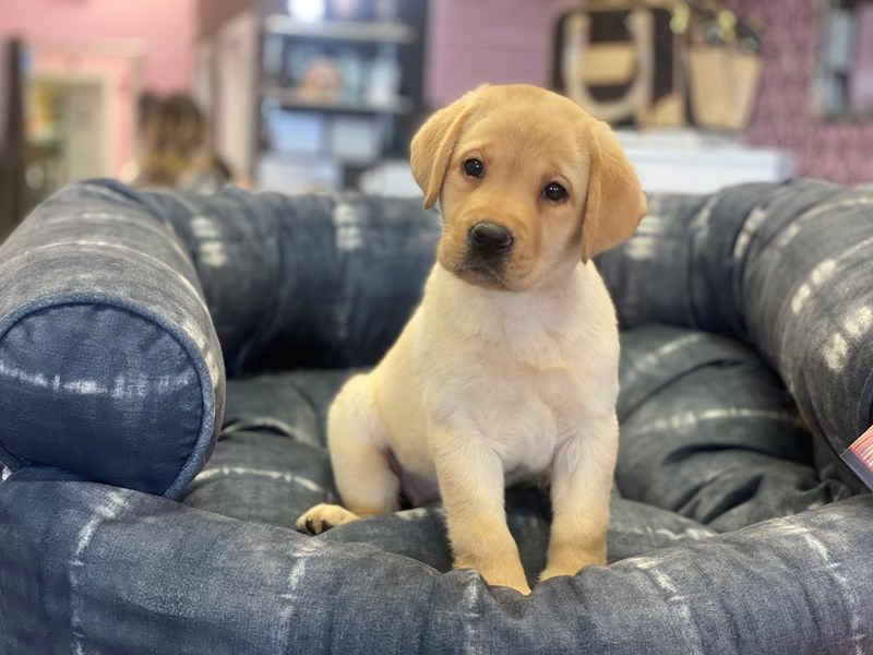 Labrador Retriever-DOG-Female-Yellow-2972539-Furrylicious