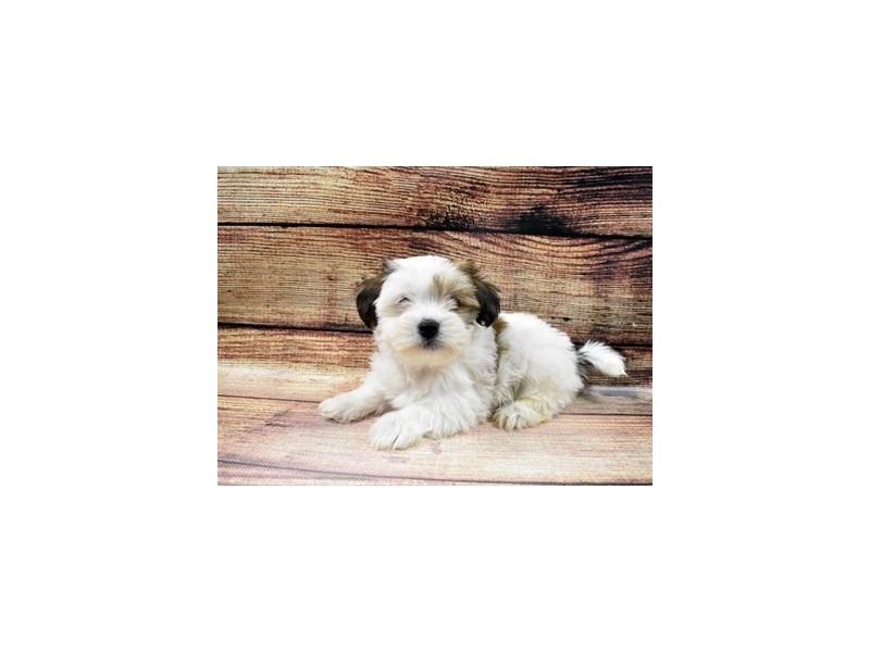 Shorkie-Male-Gold and White-2980649-Furrylicious