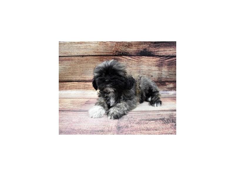 Lhasa Apso-DOG-Male-Golden-2980670-Furrylicious