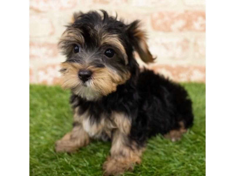 Yorkshire Terrier-DOG-Male-Black / Tan-2981683-Furrylicious