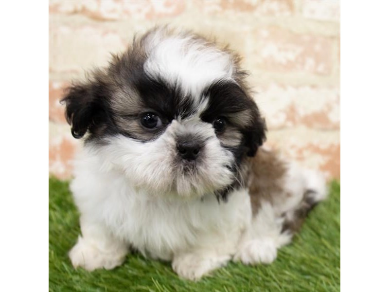 Shih Tzu-DOG-Male-Gold / White-2981743-Furrylicious